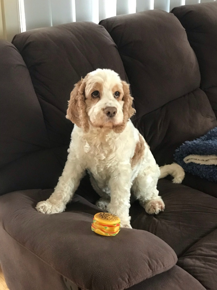 My dog Chloe, sitting on the couch with her favourite squeaky toy.