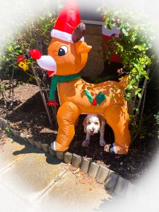 Photo of a garden with a blow up Rudolph the reindeer, and underneath is the white face of a dog peeking out from under the reindeer.